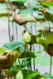 Lotus flowers Stock Image