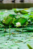 Lotus flowers Royalty Free Stock Photography
