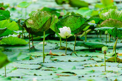 Lotus flowers. In the river Royalty Free Stock Image