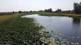 Lotus flowers in river. Flora of Volga royalty free stock image
