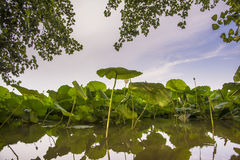 Lotus flowers on river Stock Images