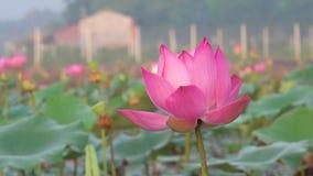Lotus Flowers rose en Lily Pond clips vidéos