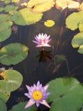 Lotus Flowers rosso-chiaro in uno stagno fotografie stock libere da diritti