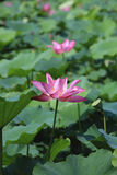 Lotus flowers and seedpod Stock Photo