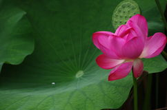 Lotus flowers and seedpod. Green Leaves 、Seedpod and red flower of the lotus Stock Images