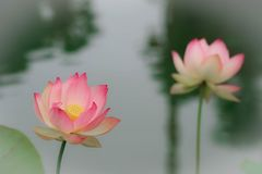 Lotus flowers, symbolizing growth and new beginnings. Delicate and beautiful bright pink lotus water lilies rising above green lily pads with tranquility and Stock Image