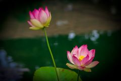 Lotus flowers, symbolizing growth and new beginnings. Delicate and beautiful bright pink lotus water lilies rising above green lily pads with tranquility and Stock Photo