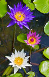 Lotus flowers. Stock Images