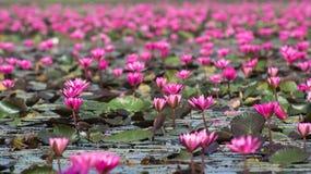 Lotus Flowers in un lago immagine stock libera da diritti