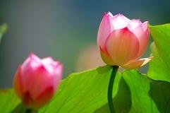 Lotus flowers under sun light Stock Photos