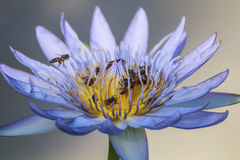 Lotus Flowers. Violet lotus flower and bee close up stock images