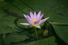 Lotus flowers on the water. With green leaves royalty free stock photos