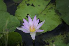 Lotus flowers on the water. With green leaves stock photography