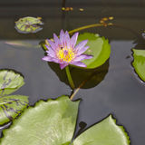 Lotus flowers in water surface. Lotus flowers close up in water surface Royalty Free Stock Image