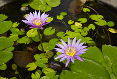 Lotus flowers in water surface. Close up Lotus flowers in water surafce Royalty Free Stock Photos