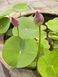Lotus flowers in water surface Royalty Free Stock Photography