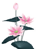 Lotus. Flowers in white background Royalty Free Stock Photos