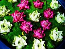 Lotus flowers Stock Photography