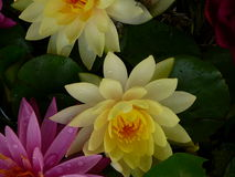 Lotus Flowers. Yellow and Pink Lotus Flowers on the way to the morning market in Bangkok, Thailand Royalty Free Stock Photography