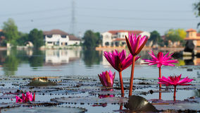 The lotus flowr is about to bloom. The lotus flowers are floating on the water while there are about to bloom Royalty Free Stock Photography