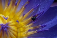The Lotus and the Fly. A close-up shot of a lotus flower with an insect on its bud Royalty Free Stock Photography