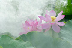 Lotus in fog stock photo