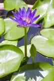 Lotus-folwer in einem Becken stockbilder