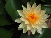 Lotus fower. Stock Photography