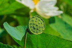 Lotus frö Royaltyfri Foto
