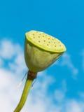 Lotus fröskida mot himmel royaltyfria foton