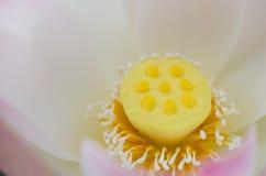 Lotus fresh flower Royalty Free Stock Photo