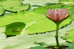 Lotus and the Frog Royalty Free Stock Photos