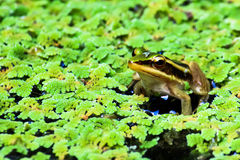 Lotus Frog verte Images stock