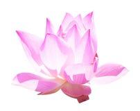 Lotus Frower Stock Photos