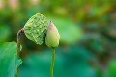 Lotus Fruit y Lotus Flower Kissing que sorprenden en un ambiente de Romatic fotografía de archivo libre de regalías