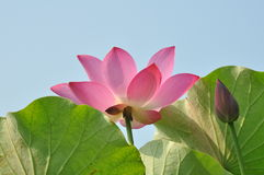 The lotus in full bloom Stock Images