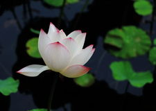 The lotus in full bloom Stock Photo