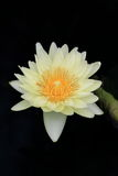 The lotus in full bloom Stock Photography