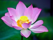 The lotus in full bloom in the children's Park Stock Image
