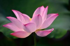 The lotus in full bloom in the children's Park Royalty Free Stock Images