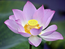 The lotus in full bloom in the children's Park Stock Images