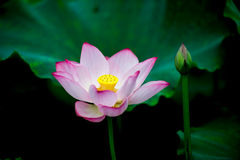 The lotus in full bloom Royalty Free Stock Photos