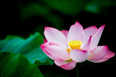 The lotus in full bloom Royalty Free Stock Image