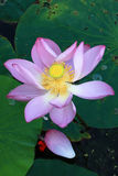 Lotus. In full bloom and fade, but also a reincarnation royalty free stock image