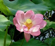Lotus in Full Bloom Royalty Free Stock Image