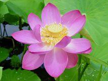 Lotus in Full Bloom Royalty Free Stock Photos