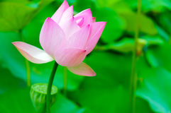 Lotus in full bloom Royalty Free Stock Photography