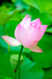 Lotus in full bloom Royalty Free Stock Images