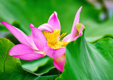 Lotus in full bloom in the pond Royalty Free Stock Image