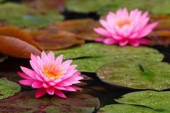Lotus gêmeo Fotografia de Stock